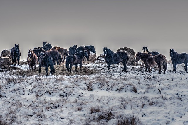 Powerful winter horses