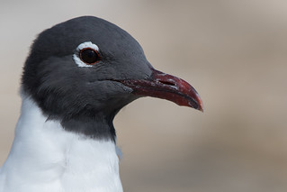 Laughing Gull (Leucophaeus atricilla) | by Photography by Matt Latham