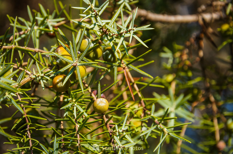 Juniperus oxycedrus en Olivella