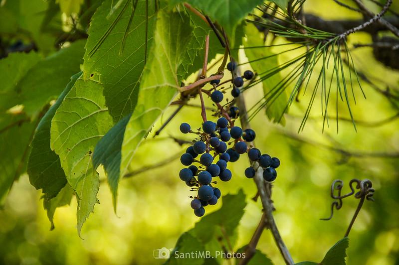 Uva negra silvestre en Olivella