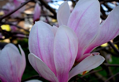 Pink Magnolia | by Jocelyn777