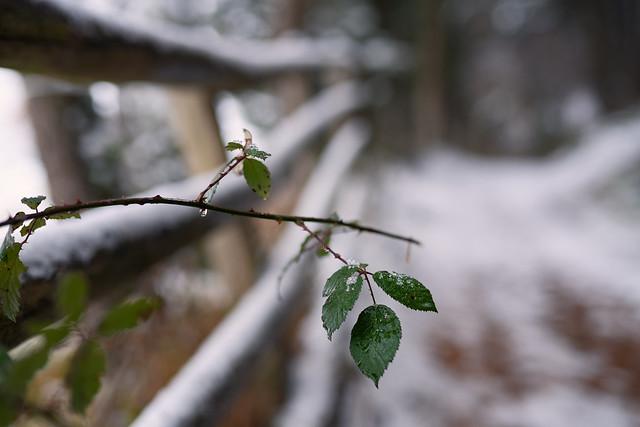 Brombeerblätter