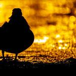 Mandarin at Sunrise