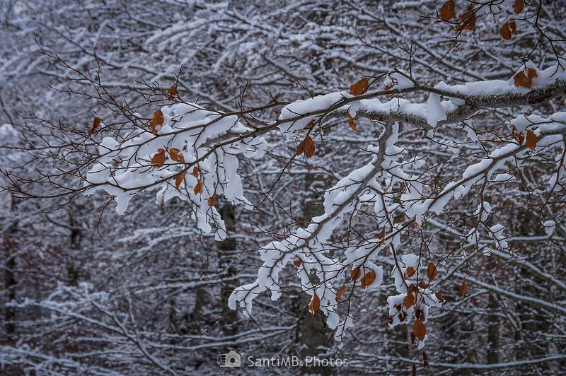 Nieve en las hayas del Bòsc de Conangles