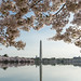 Cherry Blossoms framing the Washington Monument