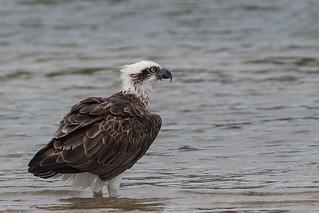 Eastern Osprey   by steve happ