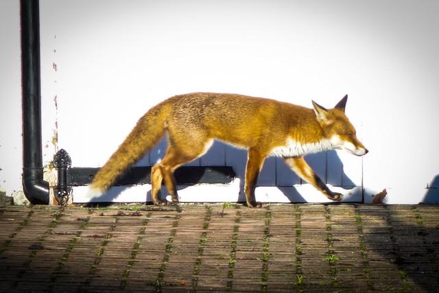 Fox on the move again