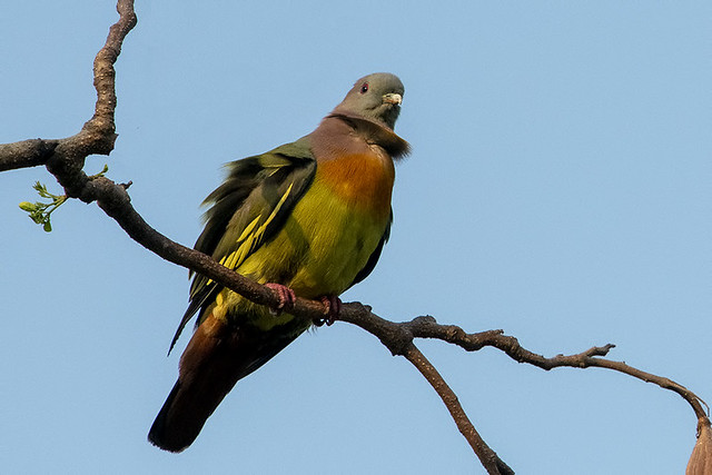 TH: Pink-necked Green-Pigeon