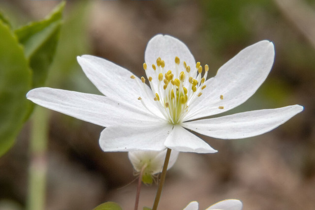 Hepatica nobilis, Rock Island SP, White County, Tennessee