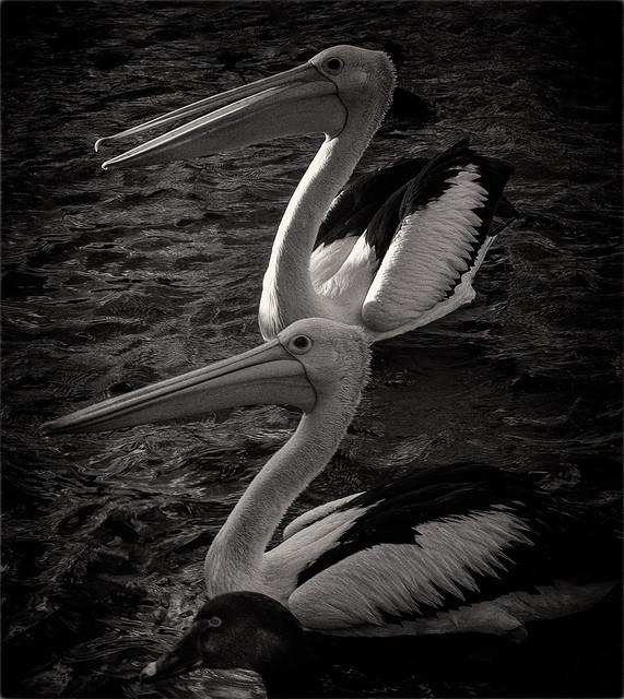 Black Swan and 2 Pelicans