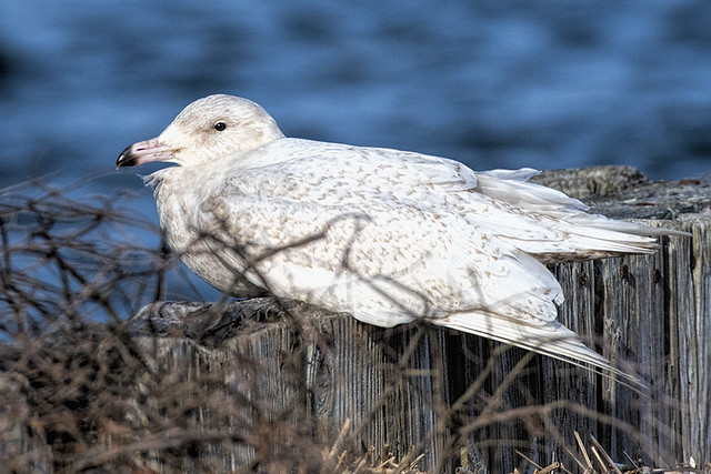 Shinnecock, NY: Glaucous Gull