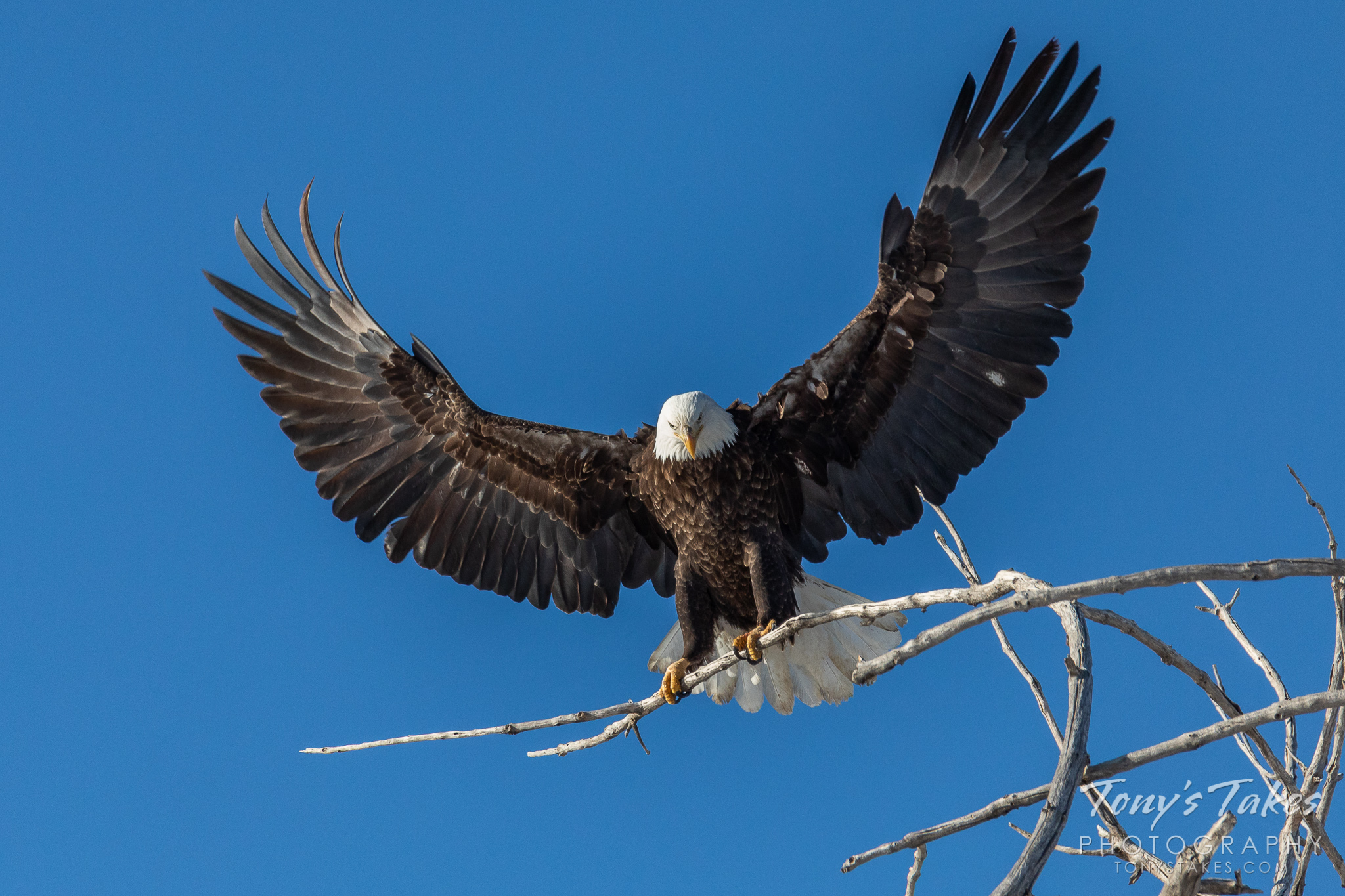 A bald eagle grabs onto a tree branch as it lands in Adams County, Colorado. (© Tony's Takes)