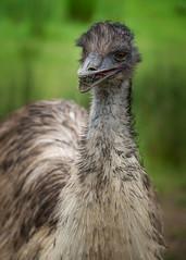181126_173 Emu eating green!