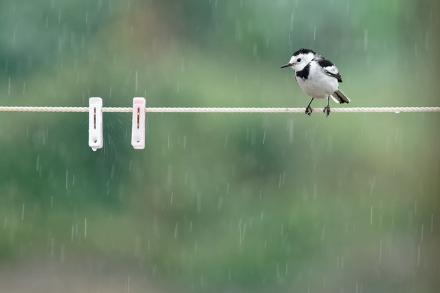 Feel lost....   白鶺鴒 (White Wagtail): Sony A7RM2 / FE 100-400mm F4.5-5.6 GM OSS + SEL14 TC