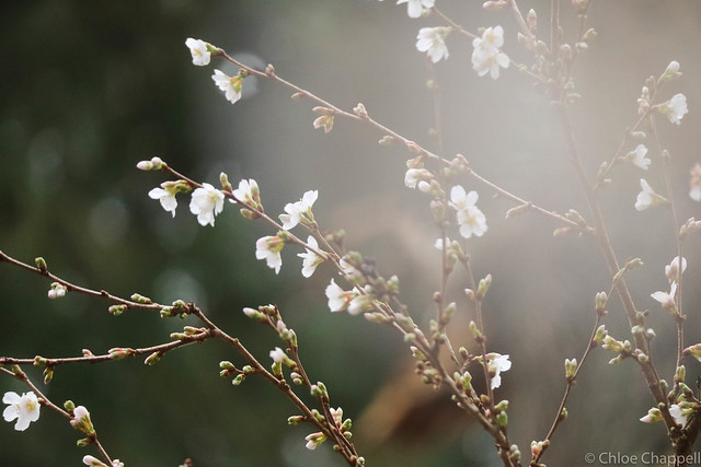 Misty Cherry Blossom
