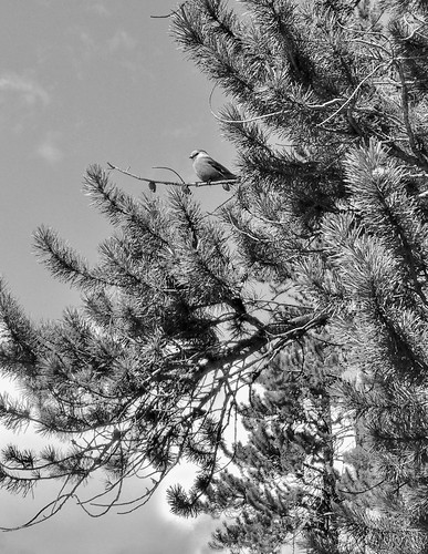 Gray jay | by JMacPherson