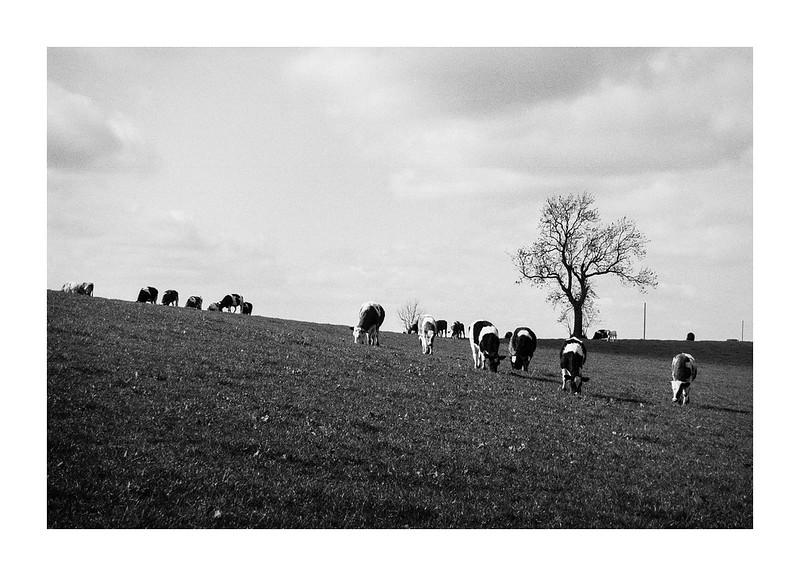 FILM - Cows
