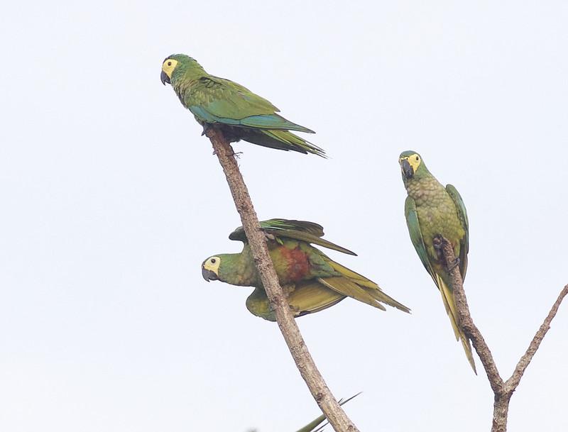 Red-bellied Macaw, Orthopsittaca manilata Ascanio_Peruvian Amazon 199A6339