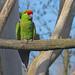 Cotorra Serrana Occidental - Photo (c) Hennie Cuper, algunos derechos reservados (CC BY-NC)