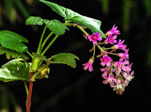 Red-flowering Currant | by T. Christensen