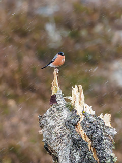 Bullfinch in the Snow | by Highlandscape