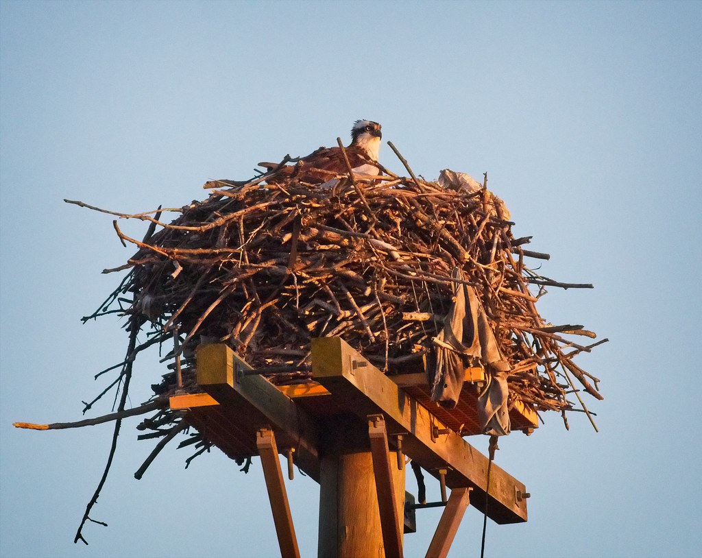 Osprey with laundry