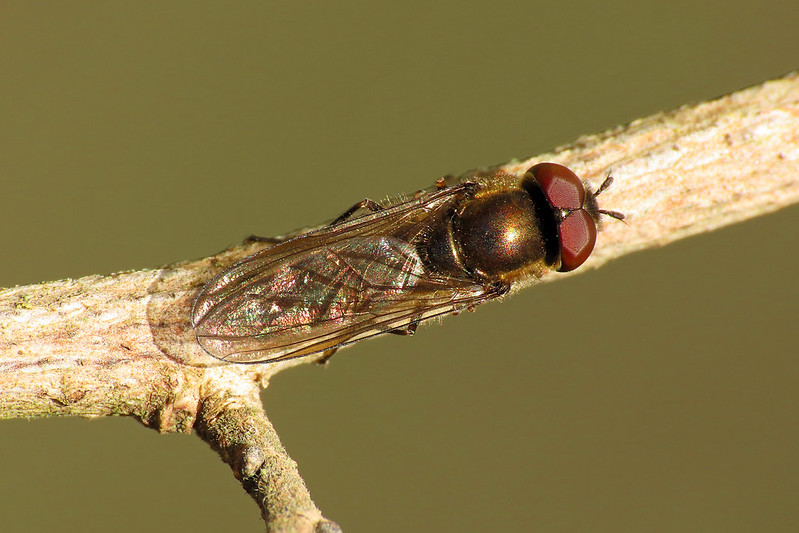 Platycheirus cf. albimanus