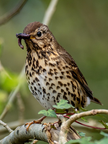 Song Thrush + worm | by dudutrois