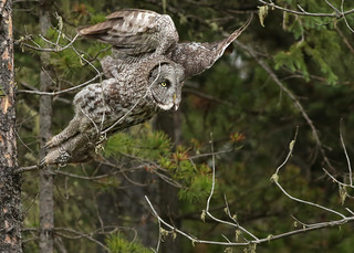 Great Gray Owl...#54