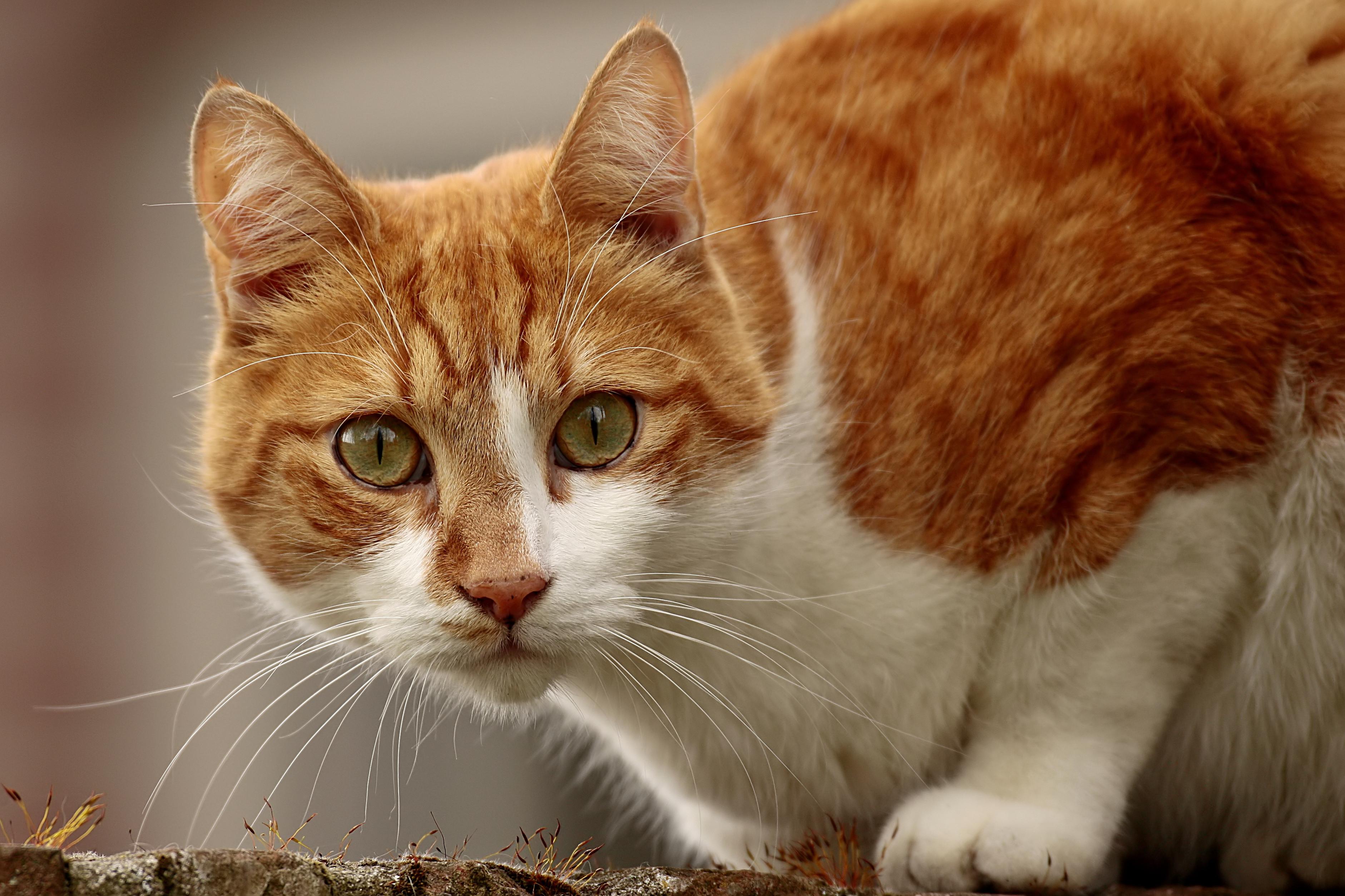 Katze ,cat (Cat lurking on the wall)