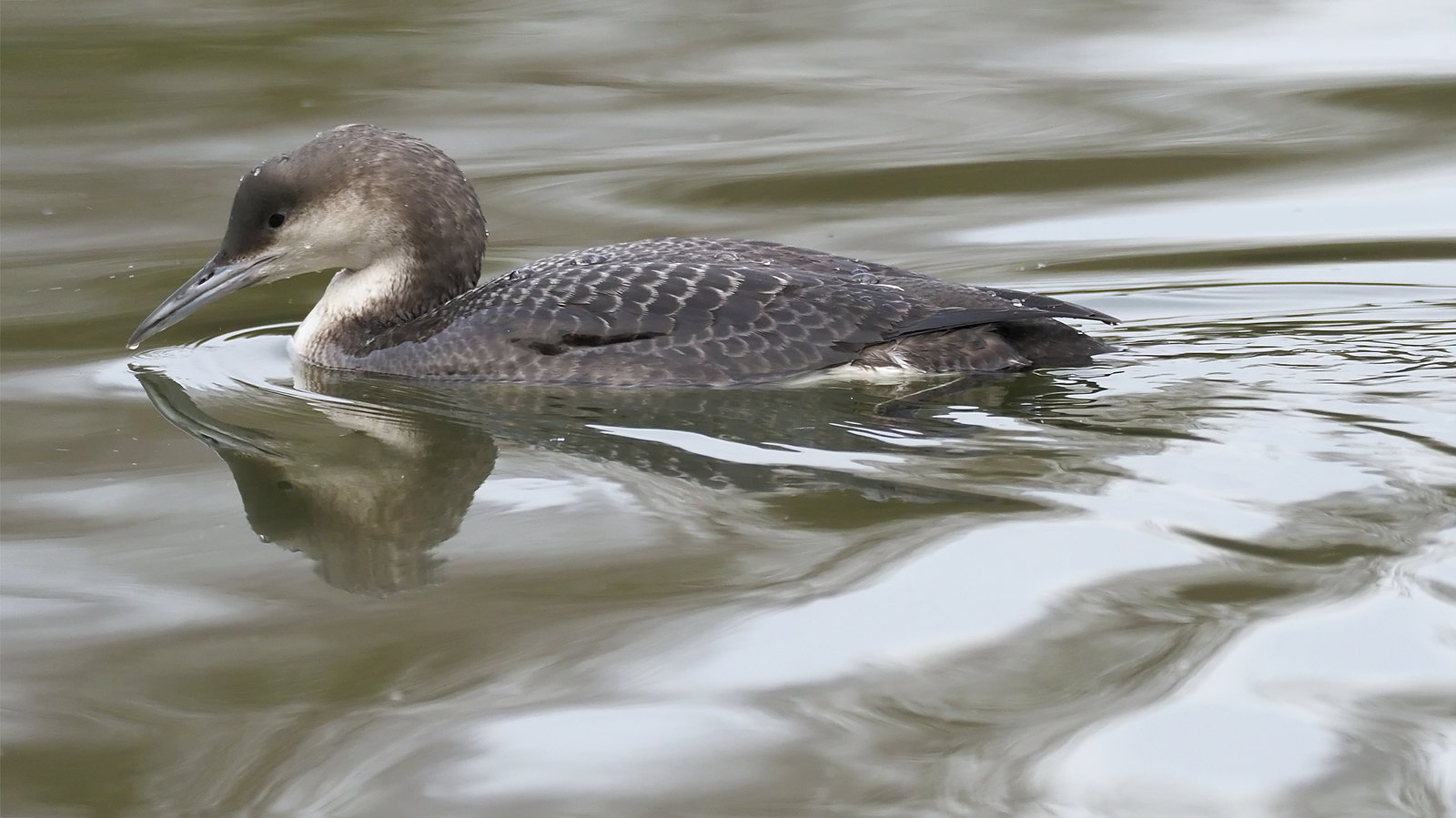 Juvenile Black-throated Diver