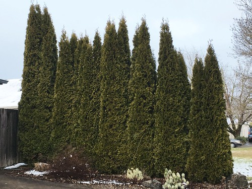 Arborvitae | by Oregon State University