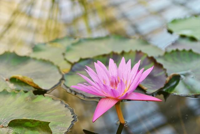 ✪掛川花鳥園にて (屋内のハス池)