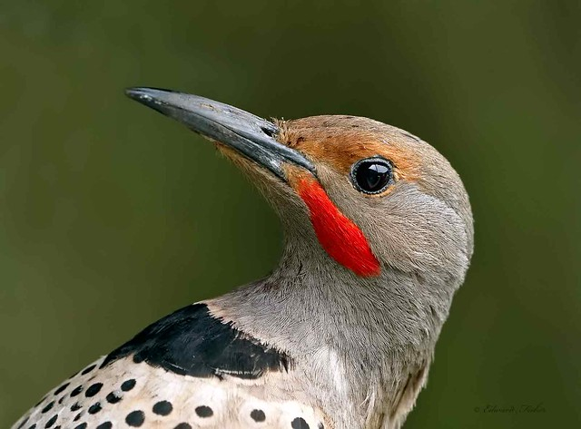 Northern Flicker Male (Red-shafted) (in Explore 04/01/2019)