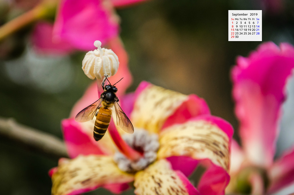 September 2019 Wallpaper Calendar Honey bee on Ceiba speciosa flower Delhi NCR