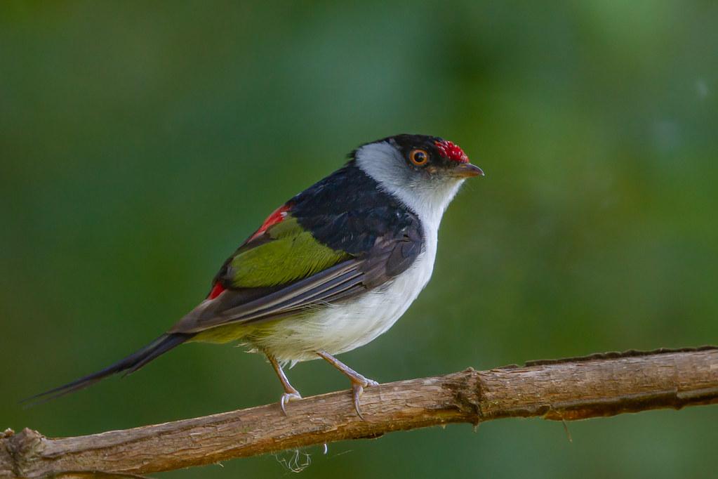Pin-tailed Manakin - Brazilian Birds - Species # 271
