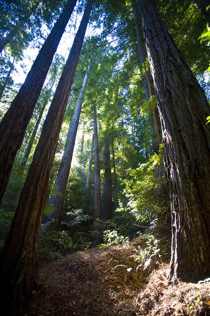 Big Basin Trees