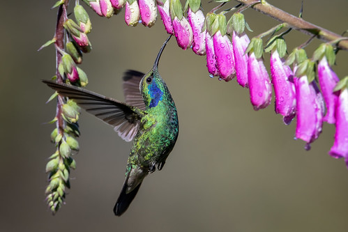 Green Violetear   by Rob & Amy Lavoie