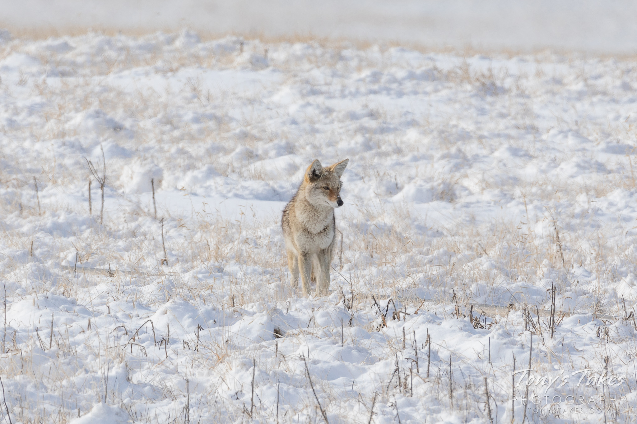 A coyote patrols a snow-covered field in the winter on the Colorado plains. (© Tony's Takes)