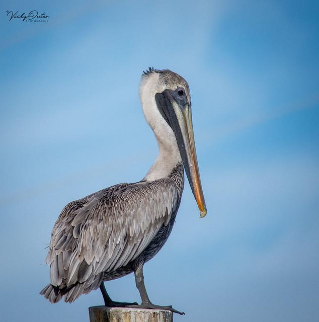 Brown pelican. (Explored 28/12/18)