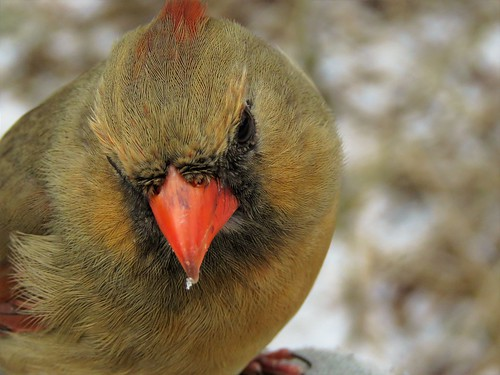 Female Cardinal | by photosfirst