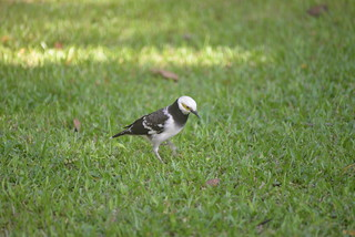 Black-Collared Starling lump 11-24-17 1