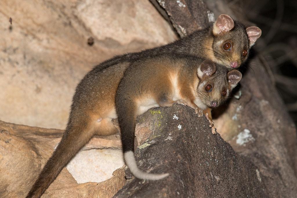 Ring-tailed Possum 154 3676