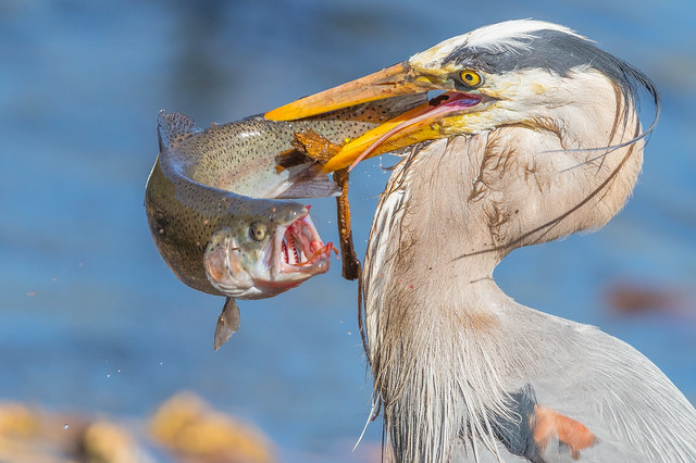 Great blue Heron with Rainbow Trout (X83_2122-1)