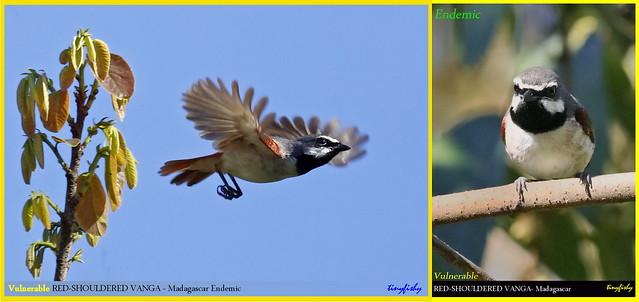 (Species #1214)  Vulnerable RED-SHOULDERED VANGA  - [ Ranomafana National Park, Madagascar ]