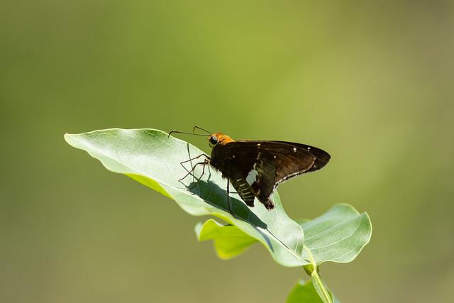 Epargyreus cf. exadeus (Broken Silverdrop) - Hesperiidae - Metropolitan National Park, Panama City, Panama-3-2