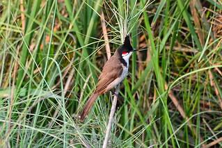 Краснощекий бюльбюль, Pycnonotus jocosus pyrrhotis, Red-whiskered Bulbul | by Oleg Nomad