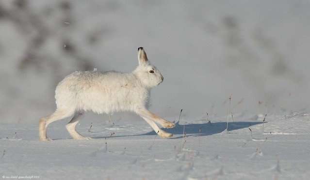 Mountain Hare 18ig1821
