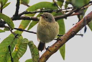 Славковый вьюрок, Certhidea olivacea, Green Warbler-Finch   by Oleg Nomad