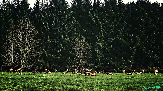 ELK GATHERING AT PRAIRIE CREEK REDWOOD NATIONAL PARK, CA-2018 © Cody Jacobson-ZEN MOUNTAIN MEDIA all rights reserved